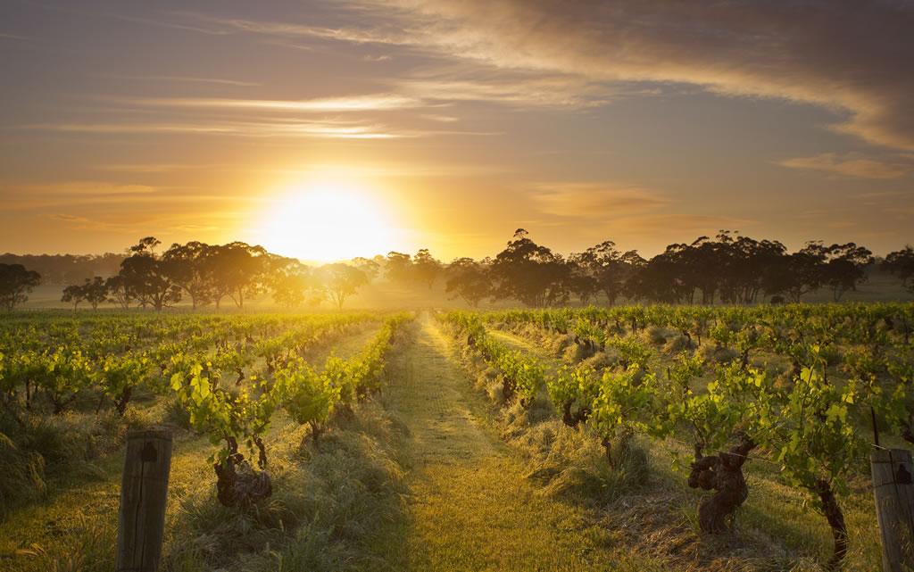 Sunset over the Mount Edelstone vineyard